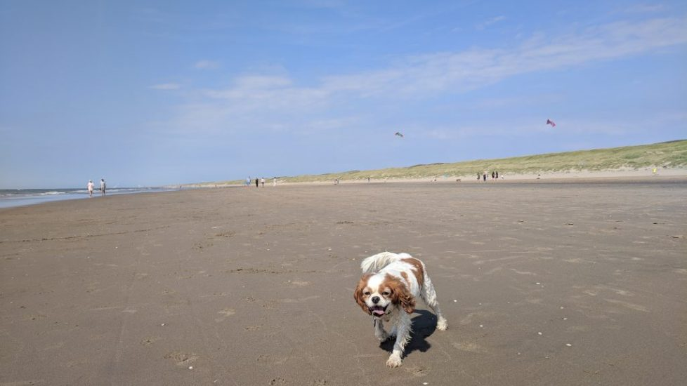 Charlie enjoying the beach in Noordwijk - Netherlands