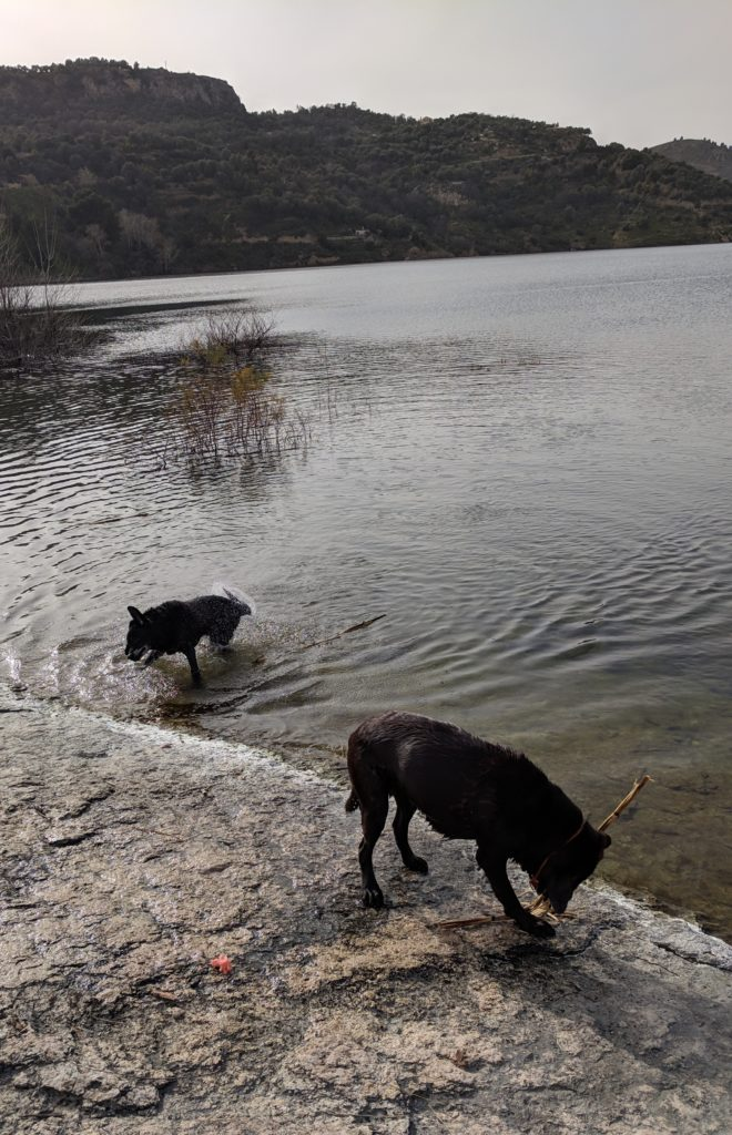 Labrador swimming and fetching sticks time !