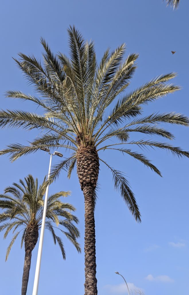 Parrots nest in the palm trees at Caleta de Velez, near Malaga