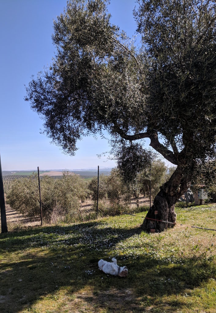 Having a good back roll under the olive tree