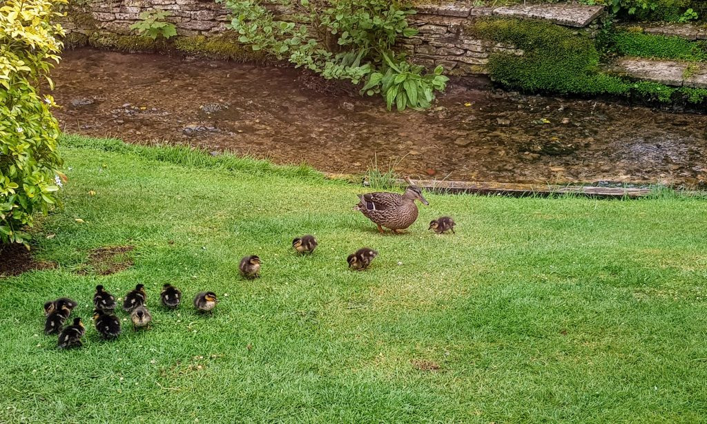 Duck and ducklings on a lawn